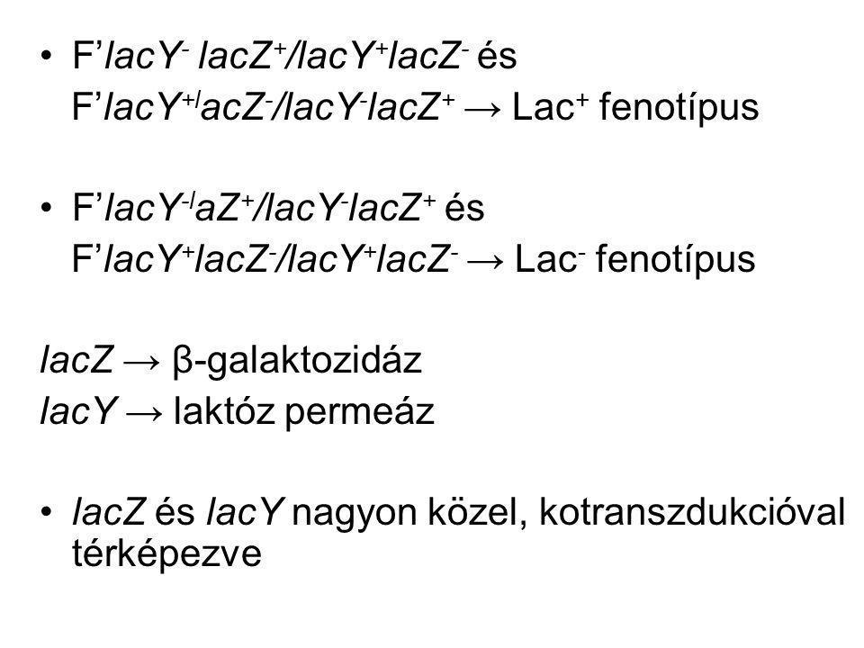 F'lacY - lacZ + /lacY + lacZ - és F'lacY +l acZ - /lacY - lacZ + → Lac + fenotípus F'lacY -l aZ + /lacY - lacZ + és F'lacY + lacZ - /lacY + lacZ - → L