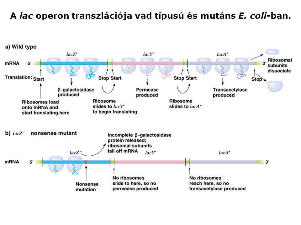 A lac operon transzlációja vad típusú és mutáns E. coli-ban.