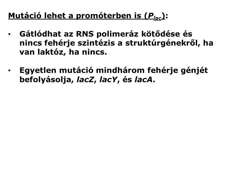 Mutáció lehet a promóterben is (P lac ): Gátlódhat az RNS polimeráz kötődése és nincs fehérje szintézis a struktúrgénekről, ha van laktóz, ha nincs. E