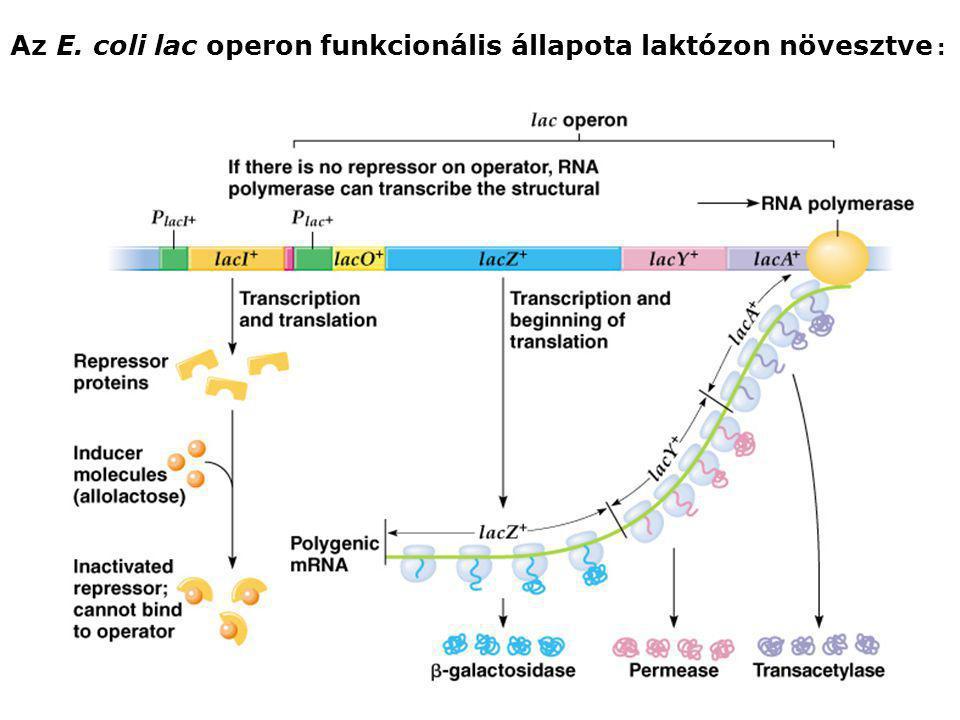 Az E. coli lac operon funkcionális állapota laktózon növesztve :
