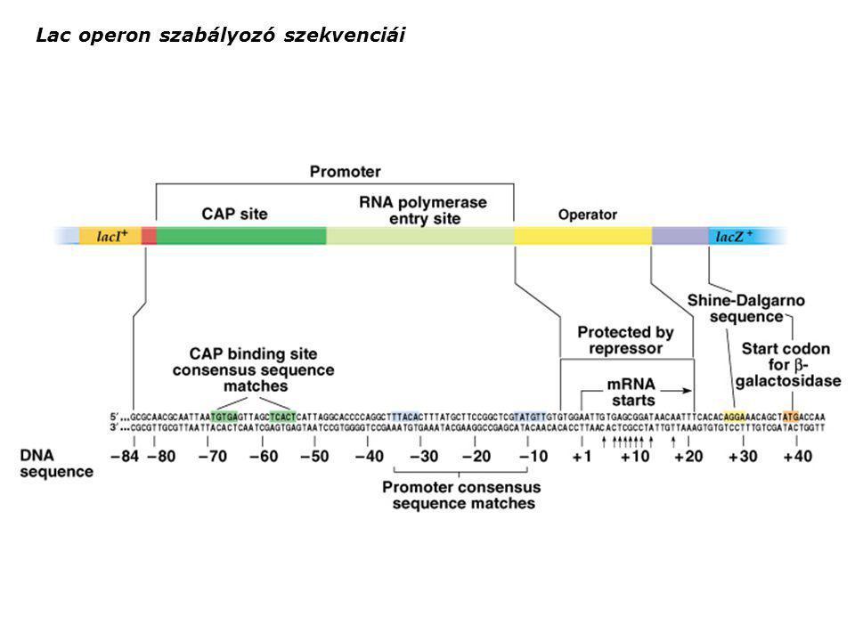 Lac operon szabályozó szekvenciái