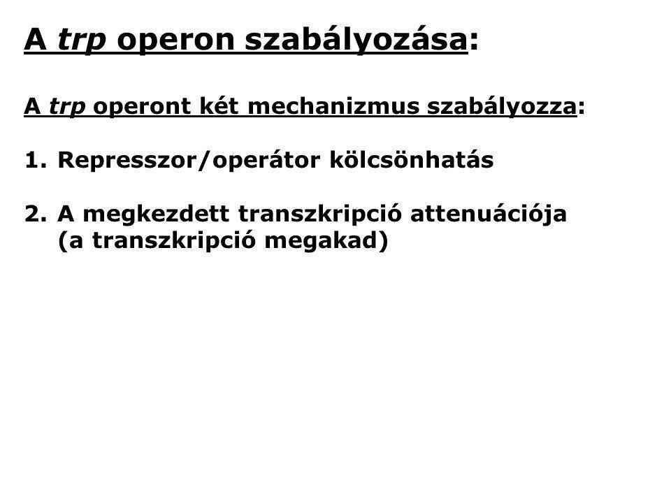 A trp operon szabályozása: A trp operont két mechanizmus szabályozza: 1.Represszor/operátor kölcsönhatás 2.A megkezdett transzkripció attenuációja (a