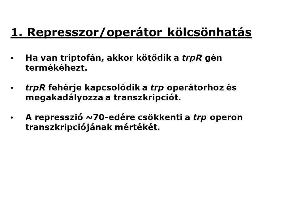1. Represszor/operátor kölcsönhatás Ha van triptofán, akkor kötődik a trpR gén termékéhezt. trpR fehérje kapcsolódik a trp operátorhoz és megakadályoz