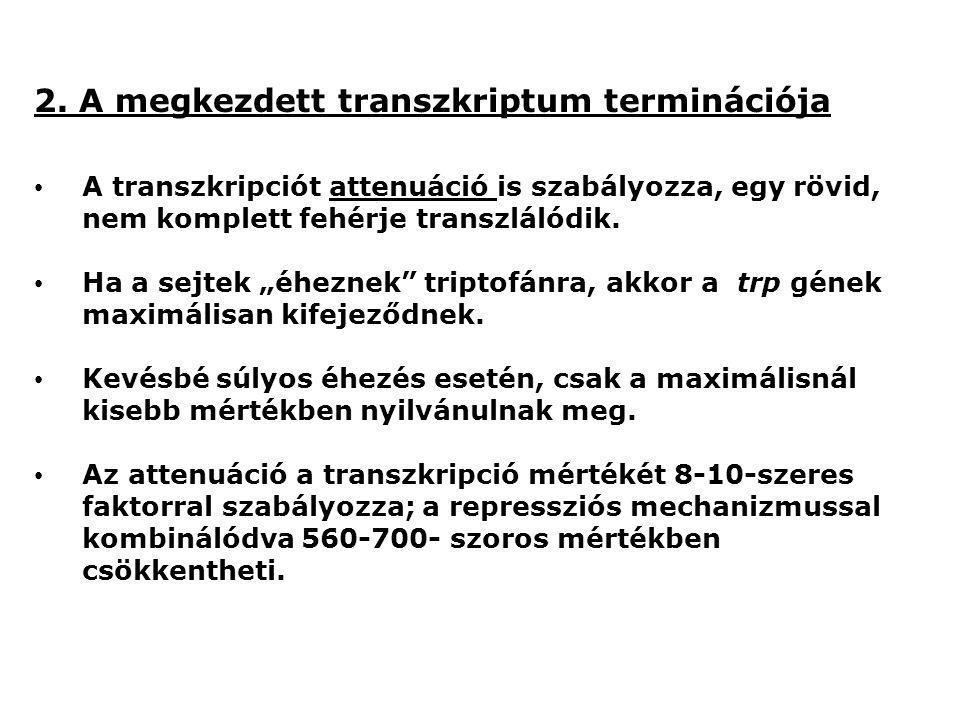 """2. A megkezdett transzkriptum terminációja A transzkripciót attenuáció is szabályozza, egy rövid, nem komplett fehérje transzlálódik. Ha a sejtek """"éhe"""