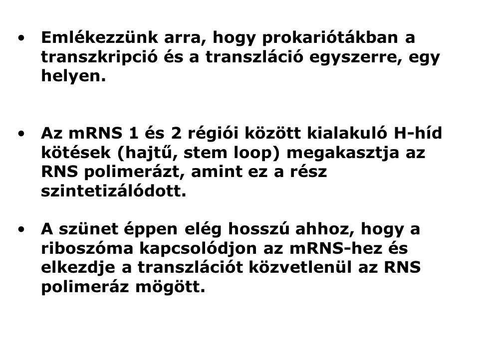Emlékezzünk arra, hogy prokariótákban a transzkripció és a transzláció egyszerre, egy helyen. Az mRNS 1 és 2 régiói között kialakuló H-híd kötések (ha