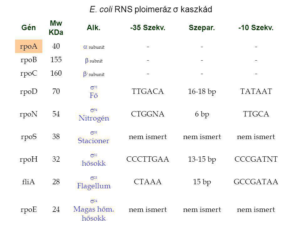 E. coli RNS ploimeráz σ kaszkád Gén Mw KDa Alk.-35 Szekv.Szepar.-10 Szekv. rpoA40  subunit --- rpoB155  subnit --- rpoC160  ' subunit --- rpoD70 
