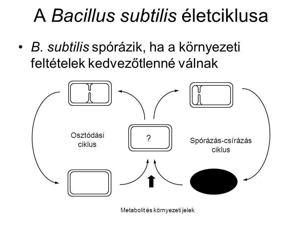 A Bacillus subtilis életciklusa B. subtilis spórázik, ha a környezeti feltételek kedvezőtlenné válnak ? Osztódási ciklus Spórázás-csírázás ciklus Meta