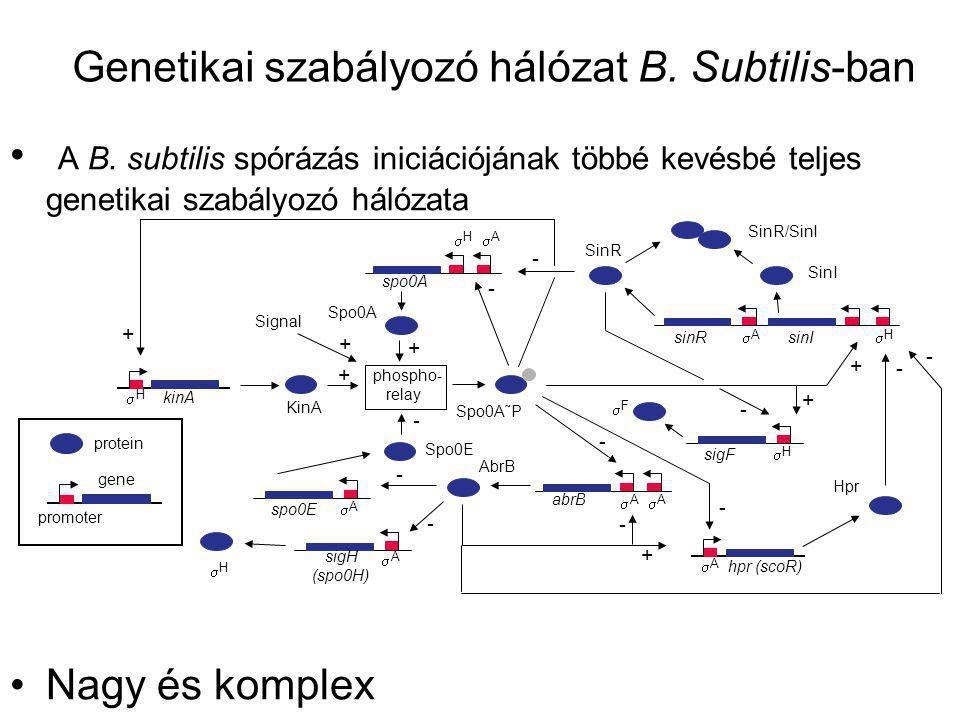 Genetikai szabályozó hálózat B. Subtilis-ban A B. subtilis spórázás iniciációjának többé kevésbé teljes genetikai szabályozó hálózata Nagy és komplex
