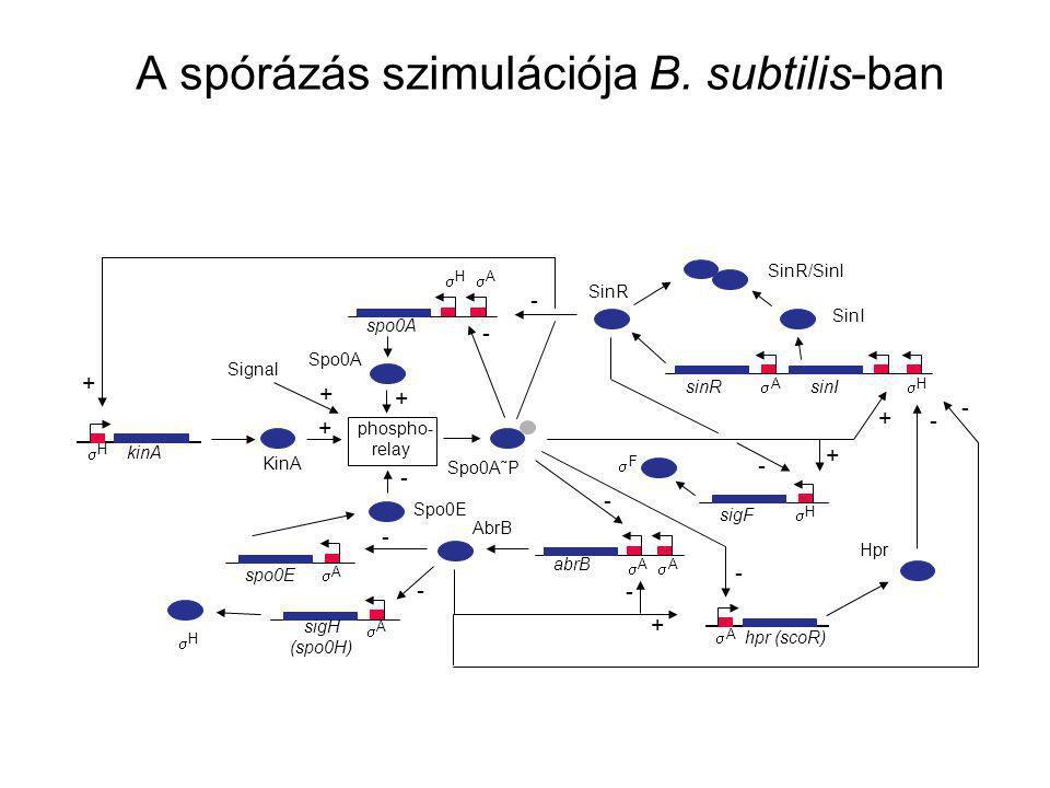 A spórázás szimulációja B. subtilis-ban