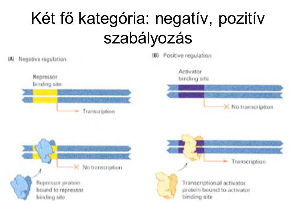 4.Az RNS polimeráz egyetlen poligénes mRNS szintézisét iniciálja, a lacZ, lacY, és lacA gének mRNS-ét.