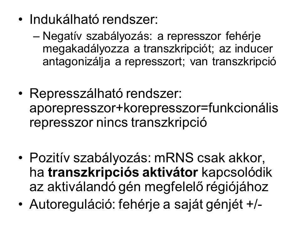 Indukálható rendszer: –Negatív szabályozás: a represszor fehérje megakadályozza a transzkripciót; az inducer antagonizálja a represszort; van transzkr