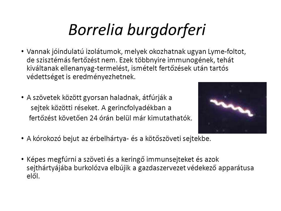 Borrelia burgdorferi Vannak jóindulatú izolátumok, melyek okozhatnak ugyan Lyme-foltot, de szisztémás fertőzést nem. Ezek többnyire immunogének, tehát