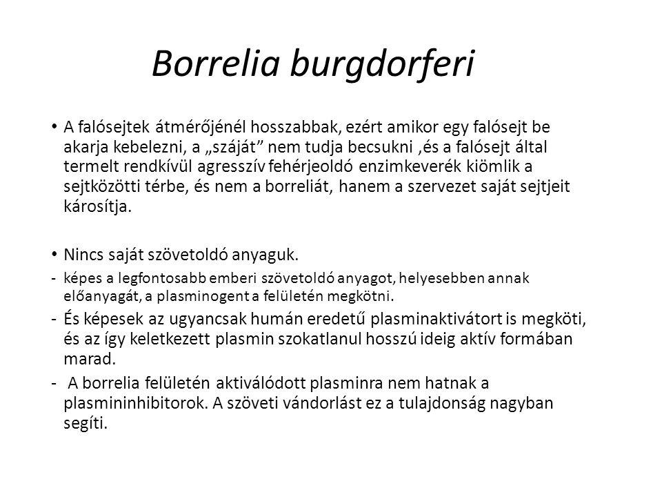 """Borrelia burgdorferi A falósejtek átmérőjénél hosszabbak, ezért amikor egy falósejt be akarja kebelezni, a """"száját"""" nem tudja becsukni,és a falósejt á"""