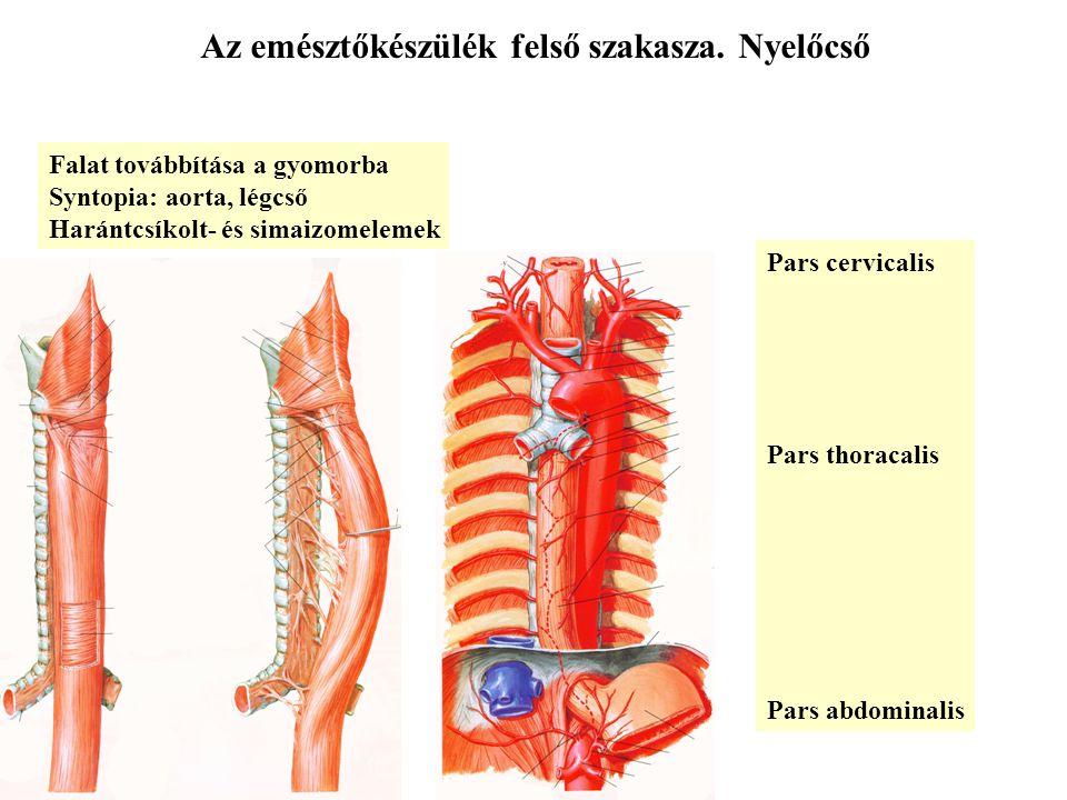 Az emésztőkészülék felső szakasza. Nyelőcső Pars cervicalis Pars thoracalis Pars abdominalis Falat továbbítása a gyomorba Syntopia: aorta, légcső Hará