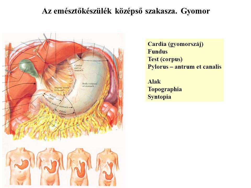 Az emésztőkészülék középső szakasza. Gyomor Cardia (gyomorszáj) Fundus Test (corpus) Pylorus – antrum et canalis Alak Topographia Syntopia