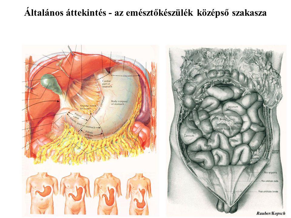 Általános áttekintés - az emésztőkészülék alsó szakasza