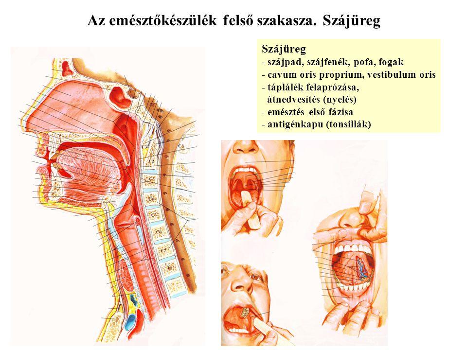 Az emésztőkészülék felső szakasza. Szájüreg Szájüreg - szájpad, szájfenék, pofa, fogak - cavum oris proprium, vestibulum oris - táplálék felaprózása,