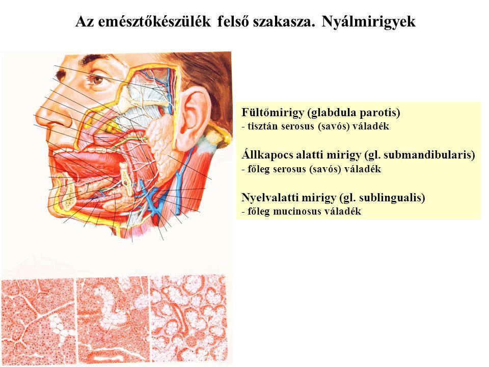 Az emésztőkészülék felső szakasza. Nyálmirigyek Fültőmirigy (glabdula parotis) - tisztán serosus (savós) váladék Állkapocs alatti mirigy (gl. submandi