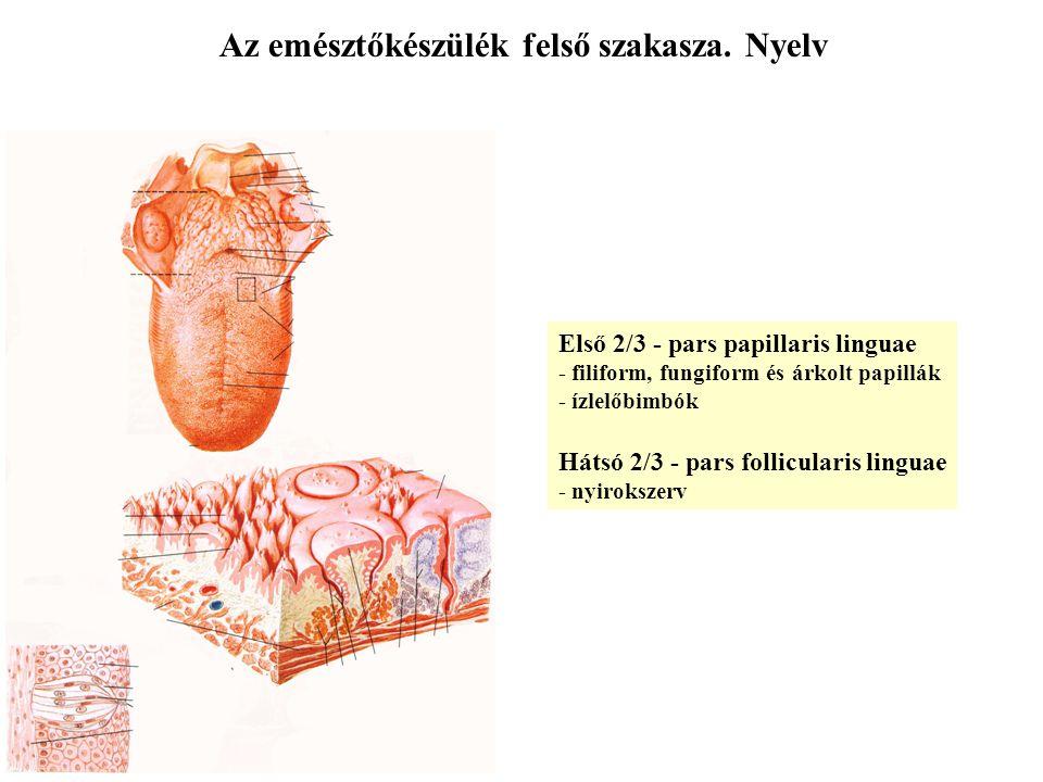 Az emésztőkészülék felső szakasza. Nyelv Első 2/3 - pars papillaris linguae - filiform, fungiform és árkolt papillák - ízlelőbimbók Hátsó 2/3 - pars f