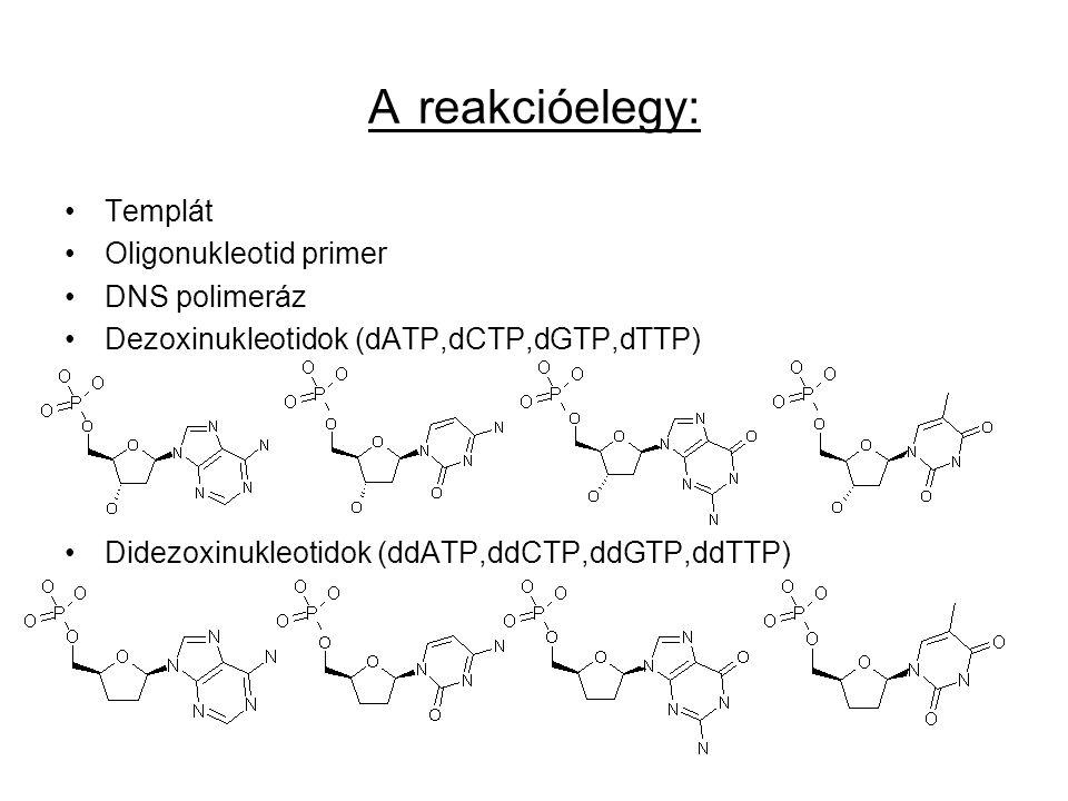 A reakcióelegy: Templát Oligonukleotid primer DNS polimeráz Dezoxinukleotidok (dATP,dCTP,dGTP,dTTP) Didezoxinukleotidok (ddATP,ddCTP,ddGTP,ddTTP)