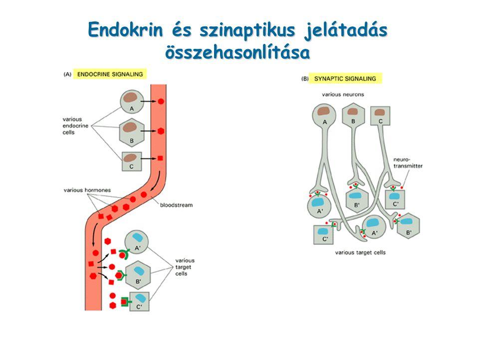 Endokrin és szinaptikus jelátadás összehasonlítása