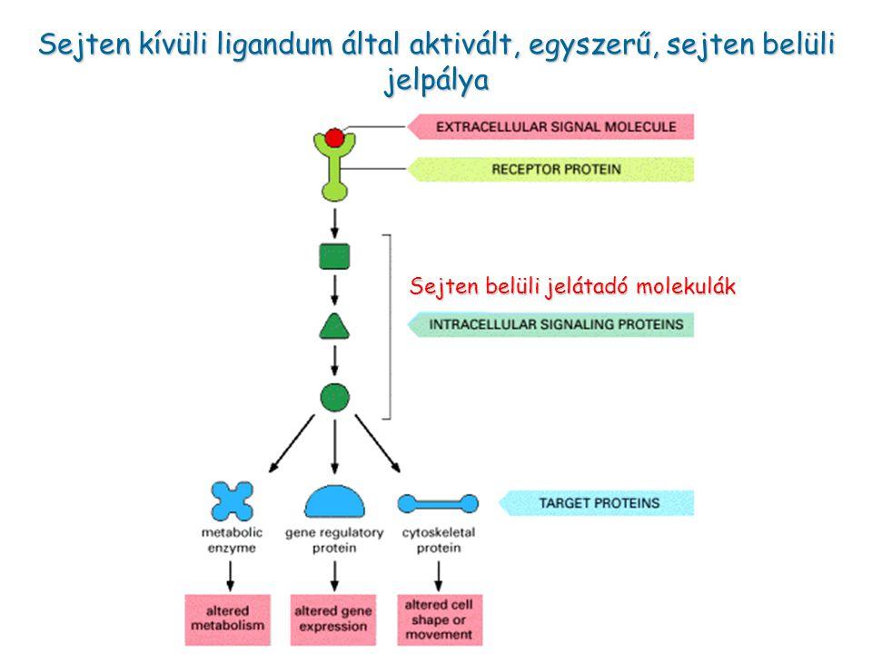 Sejten kívüli ligandum által aktivált, egyszerű, sejten belüli jelpálya Sejten belüli jelátadó molekulák