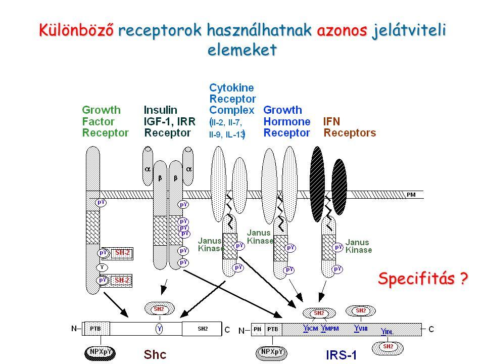 Különböző receptorok használhatnak azonos jelátviteli elemeket Specifitás ?