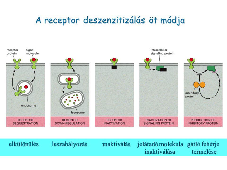A receptor deszenzitizálás öt módja elkülönülés leszabályozás inaktiválás jelátadó molekula gátló fehérje inaktiválása termelése elkülönülés leszabály