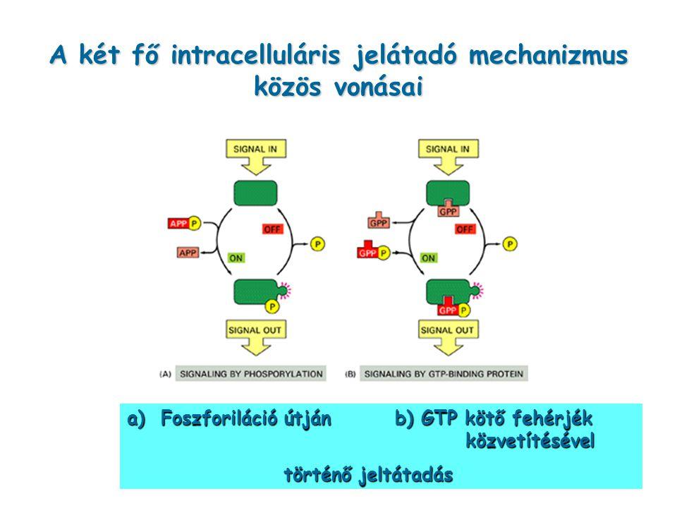 A két fő intracelluláris jelátadó mechanizmus közös vonásai a) Foszforiláció útján b) GTP kötő fehérjék közvetítésével történő jeltátadás történő jelt
