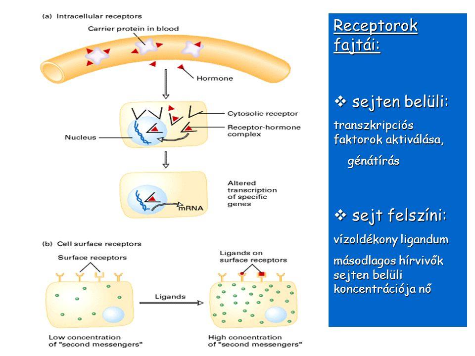 Receptorok fajtái:  sejten belüli: transzkripciós faktorok aktiválása, génátírás génátírás  sejt felszíni: vízoldékony ligandum másodlagos hírvivők