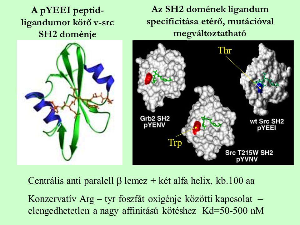 A pYEEI peptid- ligandumot kötő v-src SH2 doménje Centrális anti paralell  lemez + két alfa helix, kb.100 aa Konzervatív Arg – tyr foszfát oxigénje k