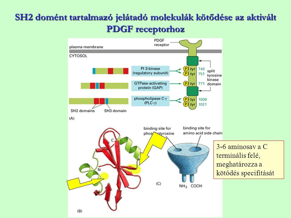 SH2 domént tartalmazó jelátadó molekulák kötődése az aktivált PDGF receptorhoz 3-6 aminosav a C terminális felé, meghatározza a kötődés specifitását