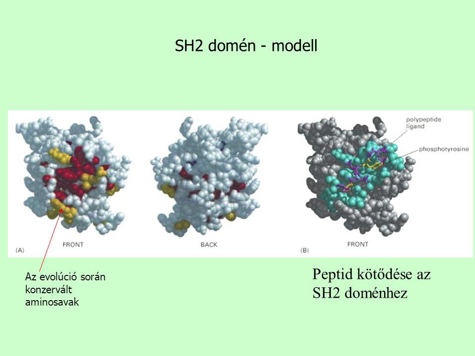 SH2 domén - modell Az evolúció során konzervált aminosavak Peptid kötődése az SH2 doménhez