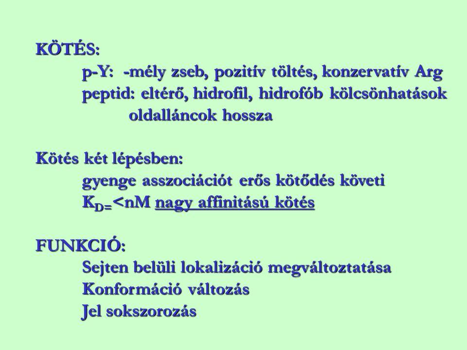 KÖTÉS: p-Y: -mély zseb, pozitív töltés, konzervatív Arg peptid: eltérő, hidrofil, hidrofób kölcsönhatások oldalláncok hossza Kötés két lépésben: gyeng