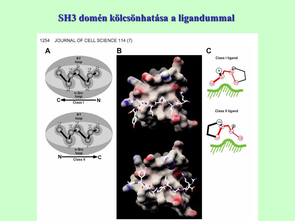 SH3 domén kölcsönhatása a ligandummal