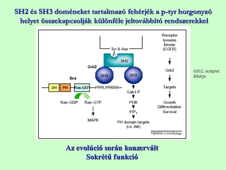 Az evolúció során konzervált Sokrétű funkció SH2 és SH3 doméneket tartalmazó fehérjék a p-tyr horgonyzó helyet összekapcsolják különféle jeltovábbító