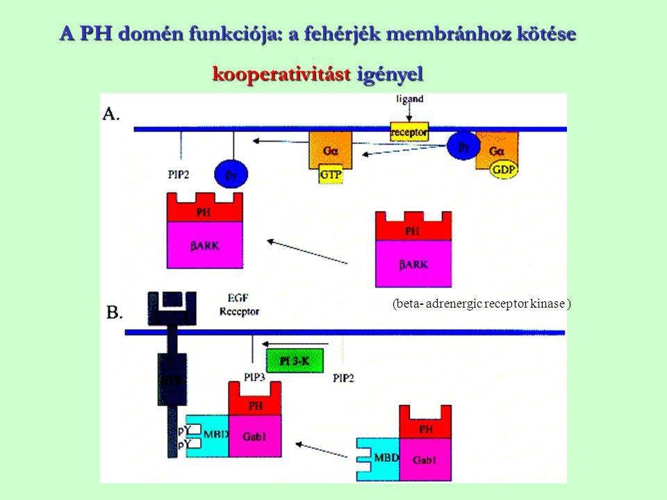 A PH domén funkciója: a fehérjék membránhoz kötése kooperativitást igényel (beta- adrenergic receptor kinase )