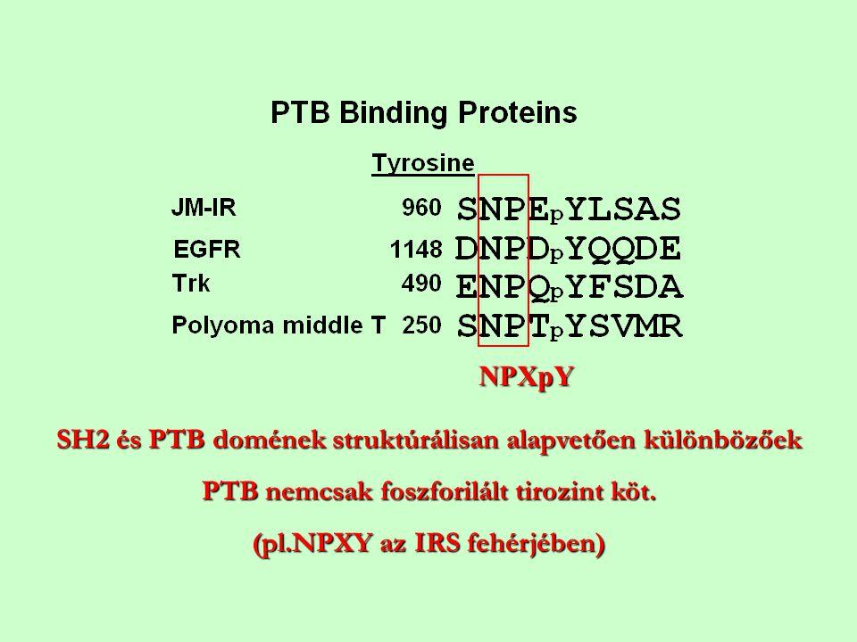 NPXpY SH2 és PTB domének struktúrálisan alapvetően különbözőek PTB nemcsak foszforilált tirozint köt. (pl.NPXY az IRS fehérjében)