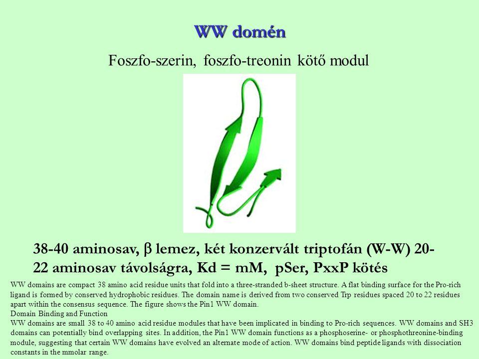WW domén 38-40 aminosav,  lemez, két konzervált triptofán (W-W) 20- 22 aminosav távolságra, Kd = mM, pSer, PxxP kötés Foszfo-szerin, foszfo-treonin k