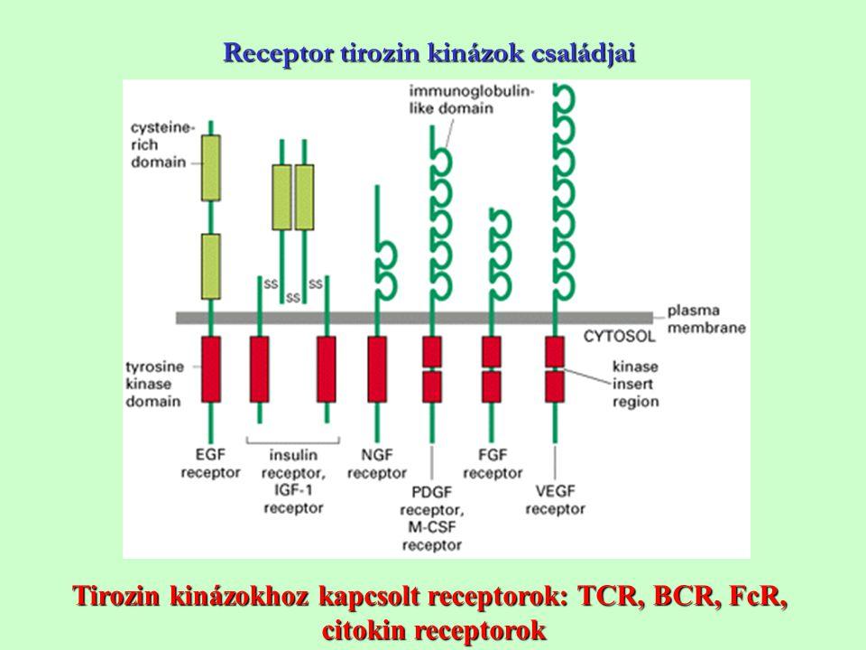 Receptor tirozin kinázok családjai Tirozin kinázokhoz kapcsolt receptorok: TCR, BCR, FcR, citokin receptorok