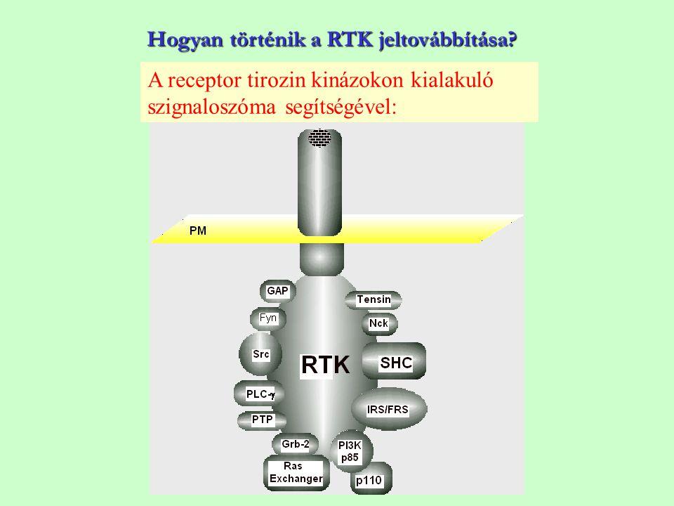 Hogyan történik a RTK jeltovábbítása? A receptor tirozin kinázokon kialakuló szignaloszóma segítségével: