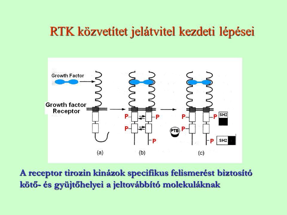 RTK közvetítet jelátvitel kezdeti lépései A receptor tirozin kinázok specifikus felismerést biztosító kötő- és gyüjtőhelyei a jeltovábbító molekulákna