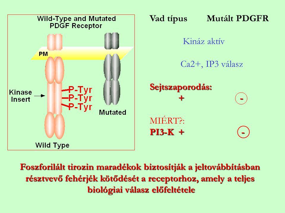Vad típusMutált PDGFR Kináz aktív Ca2+, IP3 válasz Sejtszaporodás: + - MIÉRT?: PI3-K + - Foszforilált tirozin maradékok biztosítják a jeltovábbításban