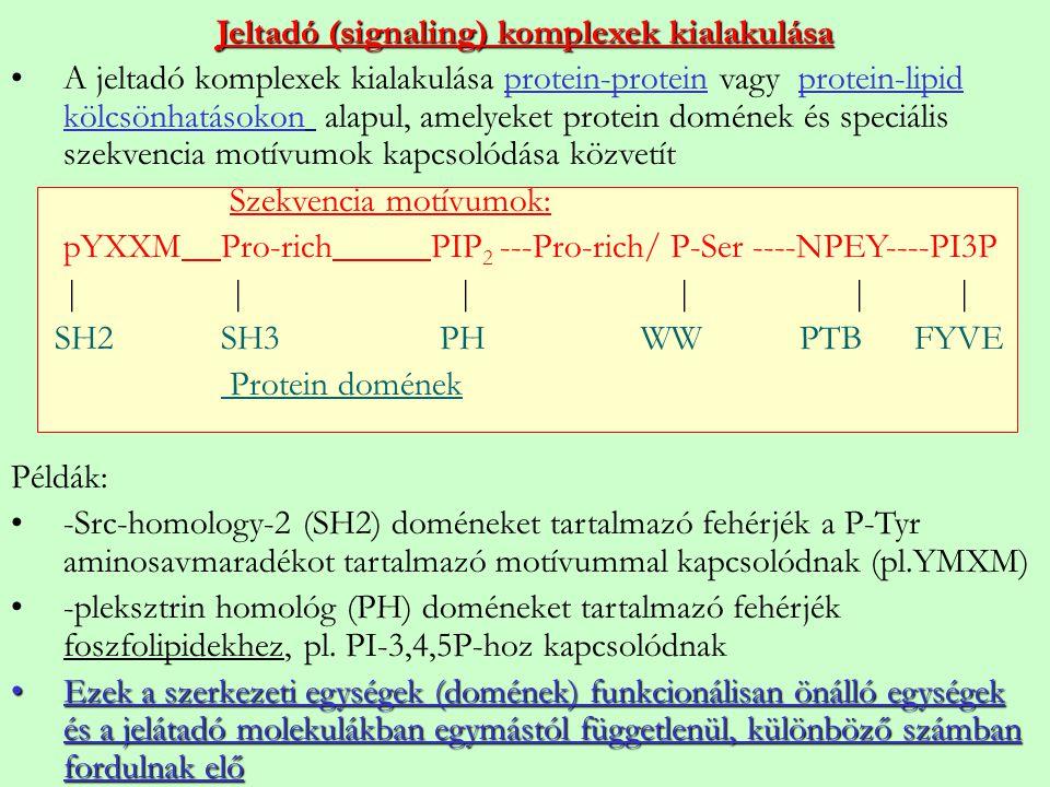 Jeltadó (signaling) komplexek kialakulása A jeltadó komplexek kialakulása protein-protein vagy protein-lipid kölcsönhatásokon alapul, amelyeket protei
