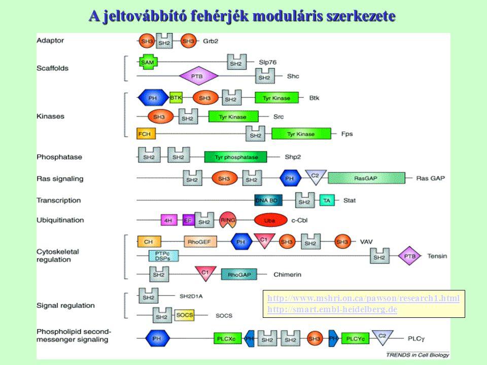 A jeltovábbító fehérjék moduláris szerkezete http://www.mshri.on.ca/pawson/research1.html http://smart.embl-heidelberg.de