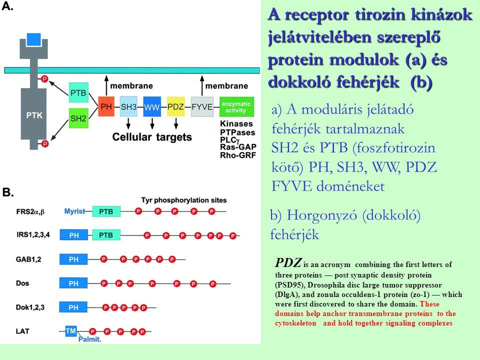 a) A moduláris jelátadó fehérjék tartalmaznak SH2 és PTB (foszfotirozin kötő) PH, SH3, WW, PDZ FYVE doméneket b) Horgonyzó (dokkoló) fehérjék A recept