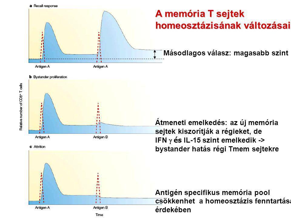 A memória T sejtek homeosztázisának változásai Másodlagos válasz: magasabb szint Átmeneti emelkedés: az új memória sejtek kiszorítják a régieket, de I