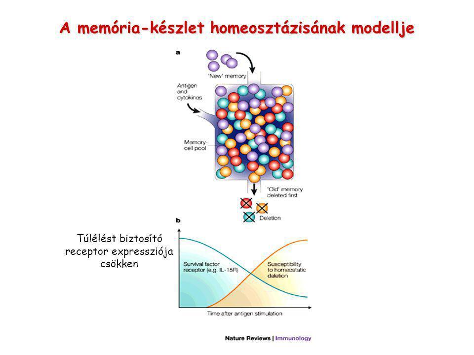 A memória-készlet homeosztázisának modellje Túlélést biztosító receptor expressziója csökken