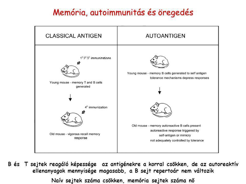 B és T sejtek reagáló képessége az antigénekre a korral csökken, de az autoreaktív ellenanyagok mennyisége magasabb, a B sejt repertoár nem változik Naív sejtek száma csökken, memória sejtek száma nő Memória, autoimmunitás és öregedés