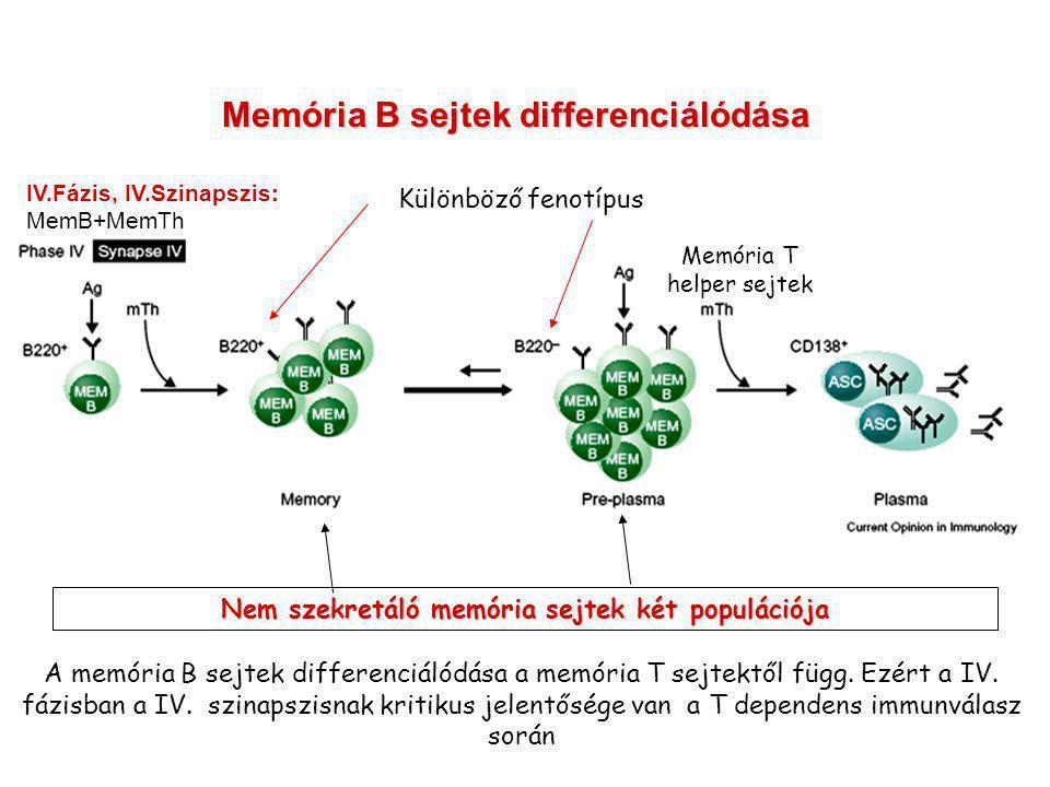 Nem szekretáló memória sejtek két populációja Memória B sejtek differenciálódása Memória T helper sejtek A memória B sejtek differenciálódása a memória T sejtektől függ.